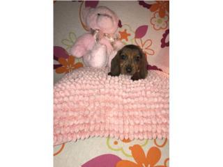 Salchicha puppy hembra Preciosa, LoLa Mascotas