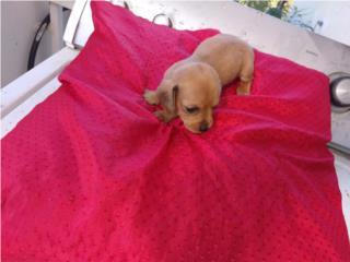 Puerto Rico Salchichas hembras mini calidad!!!!, Perros Gatos y Caballos