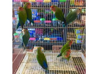 Lovebirds regular , Isabela Pet Shop