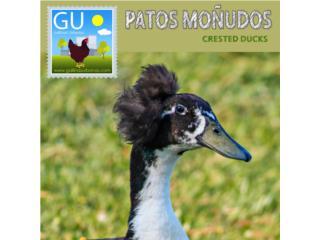 Crested Ducks ''Patos Moñudos'', GALLINAS URBANAS