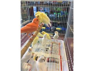 Canarios blancos y amarillos , Isabela Pet Shop
