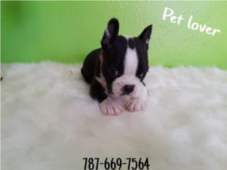 Boston NENA con papeles , Pet Lover