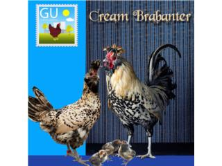 Pollitas Cream Brabanter, GALLINAS URBANAS