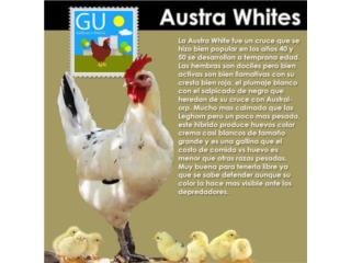 Pollitas Austra-White excelentes ponedoras, GALLINAS URBANAS