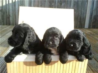 Cocker Spaniel , Hermosos Nenes, Doggie