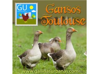 Domingo 3 de marzo Venta Gansitos Toulouse , GALLINAS URBANAS