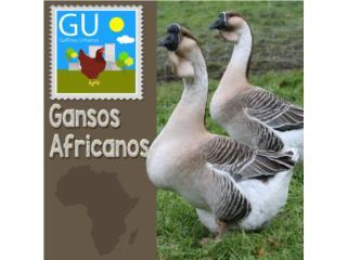 Gansitos Africanos y Chinos en venta hoy domingo, GALLINAS URBANAS