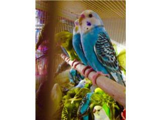 Pareja de periquitos jaula y comida, Isabela Pet Shop
