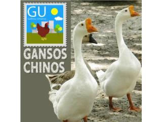 Hoy domingo venta de Gansitos Chinos/ African, GALLINAS URBANAS