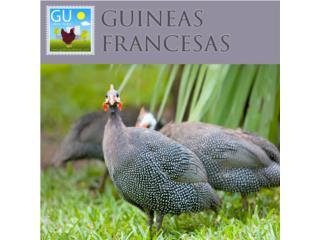 Guineitas Francesas Venta hoy domingo , GALLINAS URBANAS