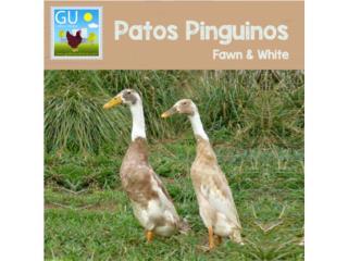 Hoy domingo17 Venta patos Pinguinos fawn&whit, GALLINAS URBANAS