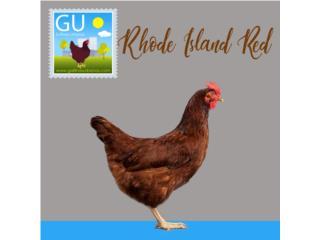 Pollitas Rhode Island Red