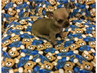 Chihuahua macho apple head , Family Pets