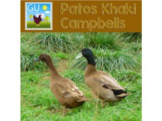 PATOS Khaki Cambells Ponedoras, GALLINAS URBANAS