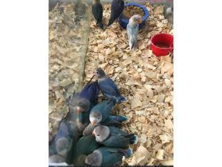 Lovebirds bebes , Isabela Pet Shop