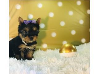 Puerto Rico Yorkie AKC carita dollface pequeñita , Perros Gatos y Caballos