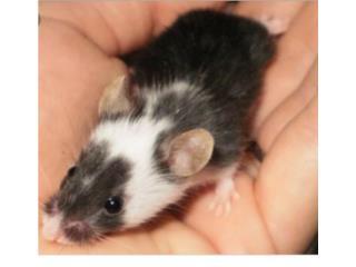 Hámster,ratas y ratones, Isabela Pet Shop