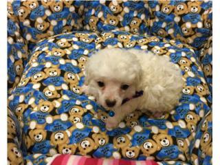 Toy's poodle macho con papeles  Puerto Rico