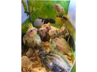 Muchos cockatiel bebes, Isabela Pet Shop