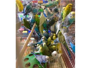 Muchos periquitos a $17 la pareja, Isabela Pet Shop