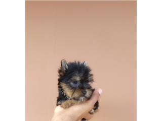 YORKIE MACHITO CON PAPELES, Puppy