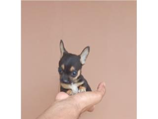 CHIHUAHUA MACHITO BLACK & GOLD, Puppy