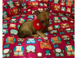 Chihuahua hembra mini , Family Pets