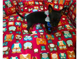 Chihuahua mini macho, Family Pets