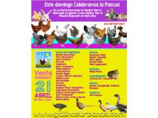 Este domingo Venta Pollitas Ponedoras 787-647-4447, GALLINAS URBANAS