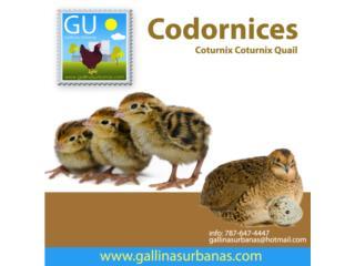 Codornices ponedoras Jumbo Cotournix de 3 semanas, GALLINAS URBANAS