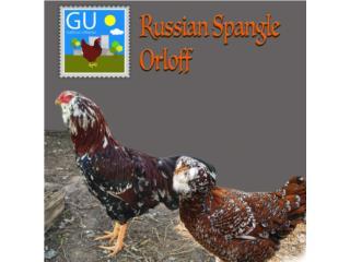 Hoy en venta Pollitas Rusas Orloff ponedoras, GALLINAS URBANAS