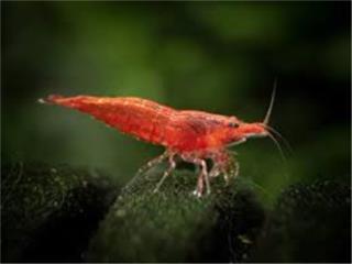 Red Cherry Shrimp, AQUARIUM XTRA