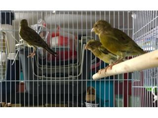 Canarios macho timbrados , Isabela Pet Shop