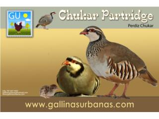 Perdices Chukar Partridge pollitas, GALLINAS URBANAS