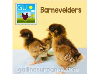 Pollitas Barnevelder huevos chocolate, GALLINAS URBANAS