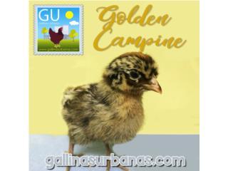Este domingo venta Pollitas Golden Campine, GALLINAS URBANAS