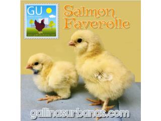 Este domingo venta pollitas Salmon Faverolle , GALLINAS URBANAS