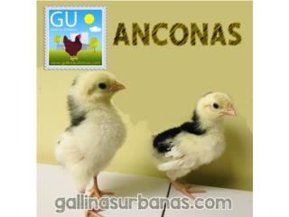 Este domingo pollitas ponedoras Anconas, GALLINAS URBANAS
