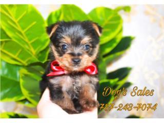 Puerto Rico Tiny Yorkie Macho, Perros Gatos y Caballos