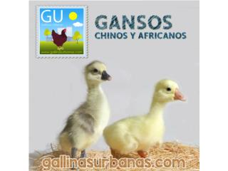 Este domingo venta GANSOS CHINOS Blanco/Brown, GALLINAS URBANAS