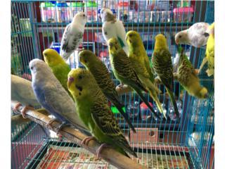 Pericos arlequines , Isabela Pet Shop
