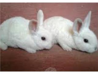Conejos enanos rex, Isabela Pet Shop