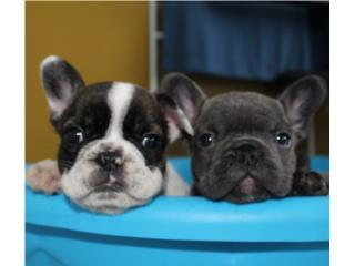 Puerto Rico French Bulldogs  Hembras y macho disponibles , Perros Gatos y Caballos