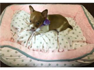 Chihuahua hembra con papeles , Family Pets