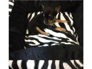 Chihuahua macho con papeles , Family Pets