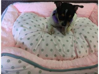 Chihuahua hembra tri color , Family Pets