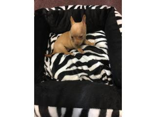 Chihuahua macho amarillo con papeles , Family Pets