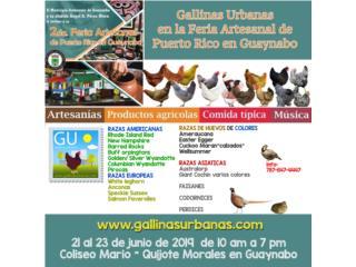 Hoy Venta de pollenas de razas ponedoras , GALLINAS URBANAS