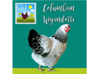 Hoy Venta de Pollitas Columbian Wyandotte, GALLINAS URBANAS
