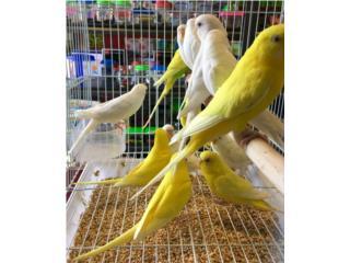 Pericos blancos y amarillos , Isabela Pet Shop